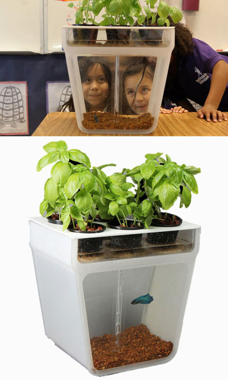 Self cleaning fish tank garden turns waste to fertilizer for Self sustaining garden with fish