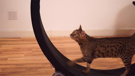 feline exercise wheel one fast cat