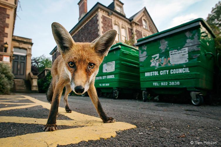 Fox by bins